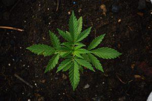 tips on growing marijuana