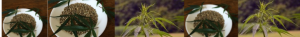 growing marijuana from seeds