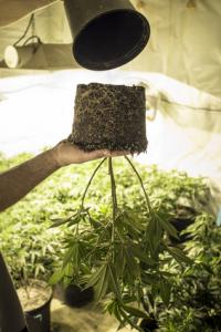 how to grow marijuana from seeds