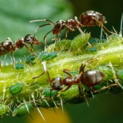 outdoor marijuana pests